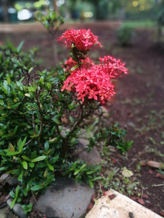 Fiore rosso immagine stock libera da diritti