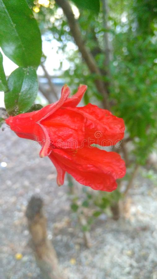 Fiore rosso immagini stock libere da diritti