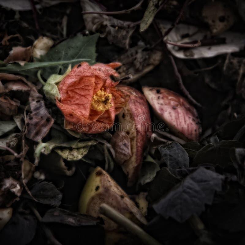 Fiore rosso appassente su un mucchio della composta fotografia stock libera da diritti