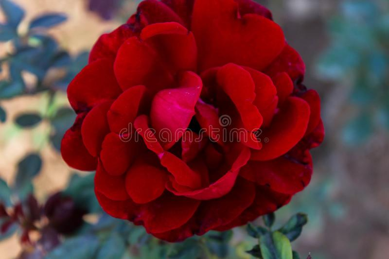 Fiore rosso asiatico immagini stock