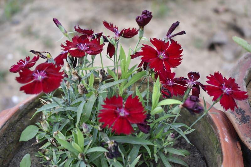 Fiore rosso brillante nel cespuglio, molla immagini stock