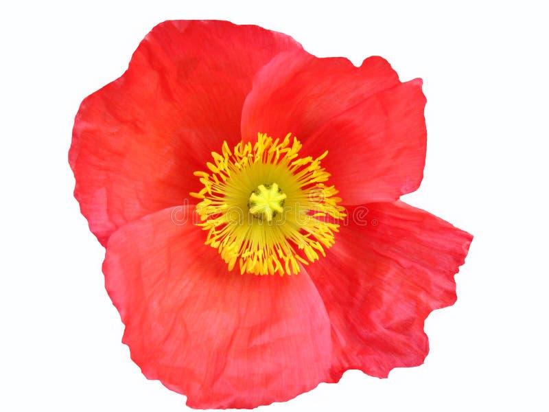 Fiore rosso con il pistil immagini stock libere da diritti