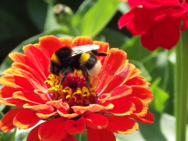 Fiore rosso con un'ape fotografia stock libera da diritti