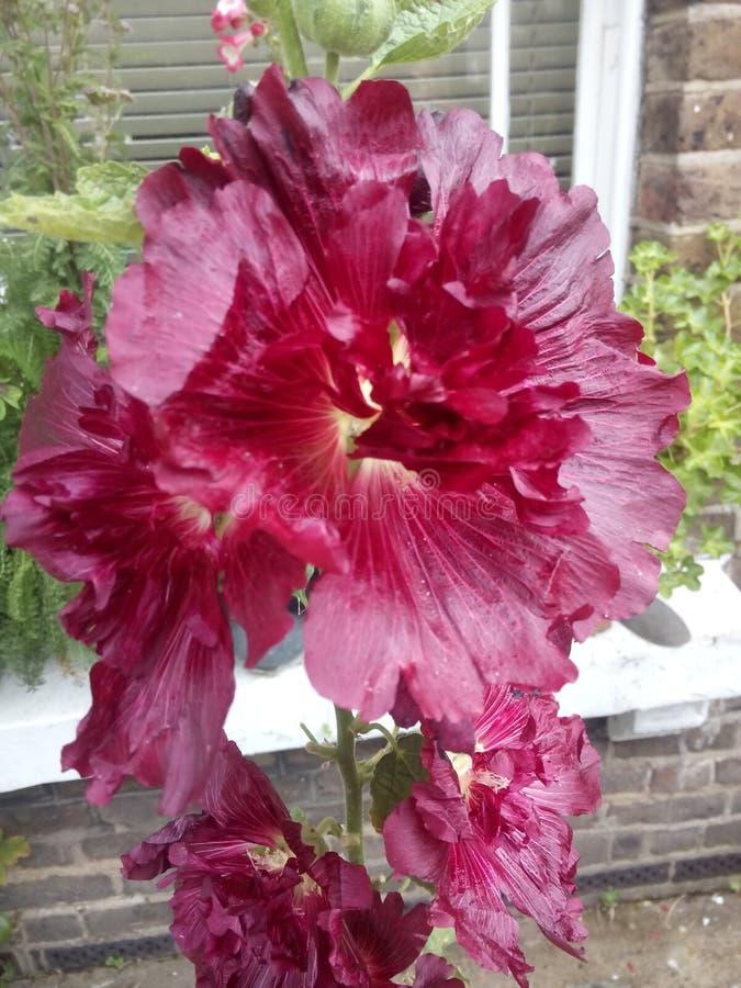 Fiore rosso-cupo fotografia stock libera da diritti