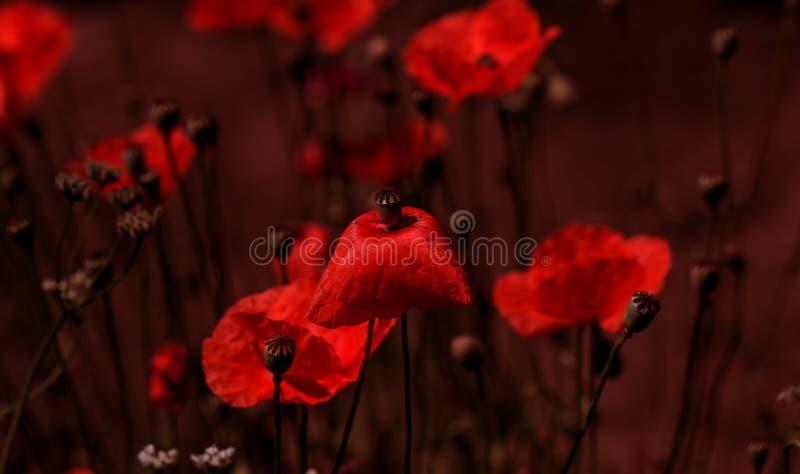 Fiore rosso dei papaveri dei fiori sul campo selvaggio Papaveri rossi del bello campo con il fuoco selettivo Droghe naturali Radu immagine stock libera da diritti
