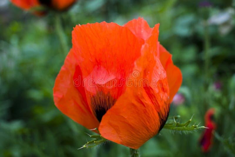 Fiore rosso dei papaveri dei fiori sul campo selvaggio Papaveri rossi del bello campo con il fuoco selettivo Papaveri rossi nella immagini stock libere da diritti