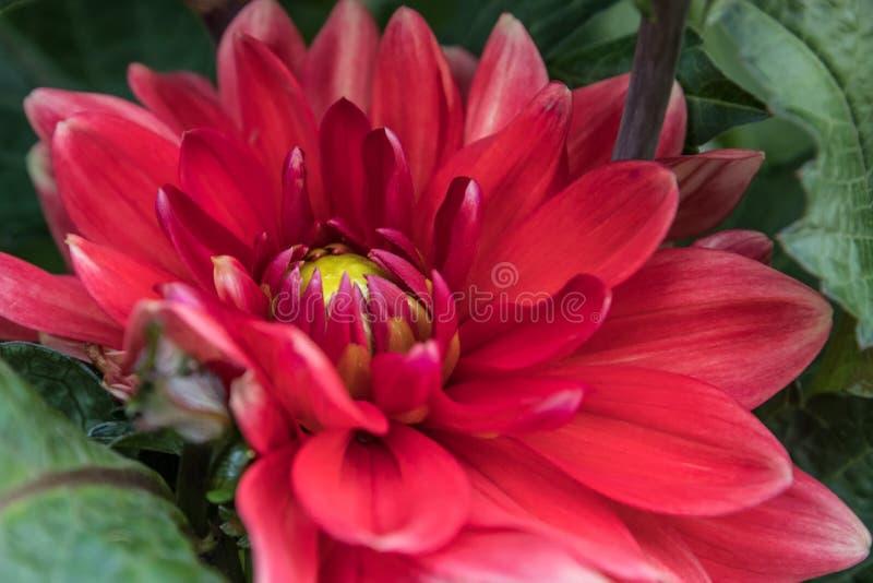 Fiore rosso del corridore della bella dalia rossa nel giardino di estate immagine stock