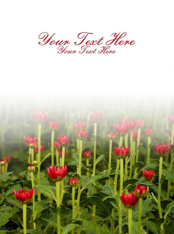 Fiore rosso del crisantemo sotto il backgrou mezzo bianco fotografie stock