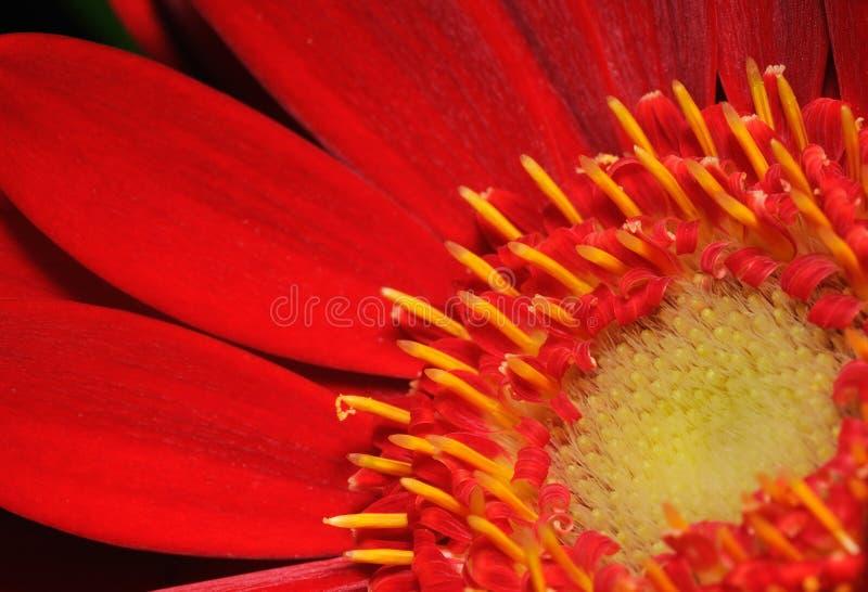 Fiore rosso del Gerbera fotografia stock libera da diritti