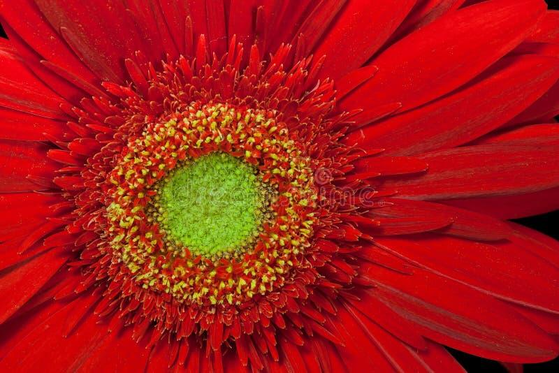 Fiore rosso del gerbera fotografie stock libere da diritti