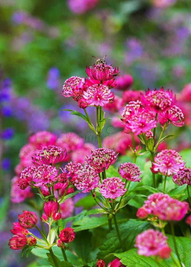 Fiore rosso del giardino immagini stock libere da diritti
