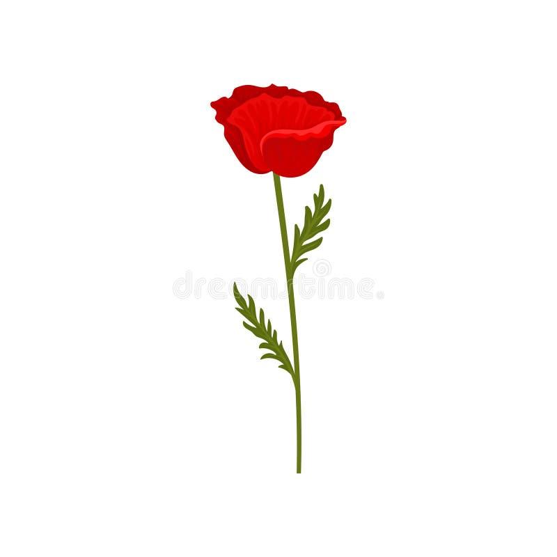 Fiore rosso del papavero con il gambo e foglie, illustrazione botanica di vettore di simbolo su un fondo bianco illustrazione vettoriale