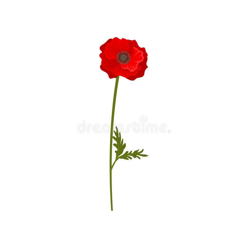 Fiore rosso del papavero con il gambo, illustrazione di vettore dell'elemento di progettazione floreale su un fondo bianco illustrazione di stock
