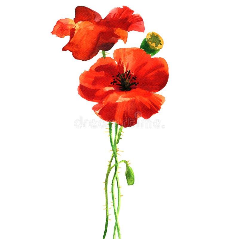 Fiore rosso del papavero, fiori selvaggi, wildflower romantico, isolato, elemento per la partecipazione di nozze, invito, disegna illustrazione di stock