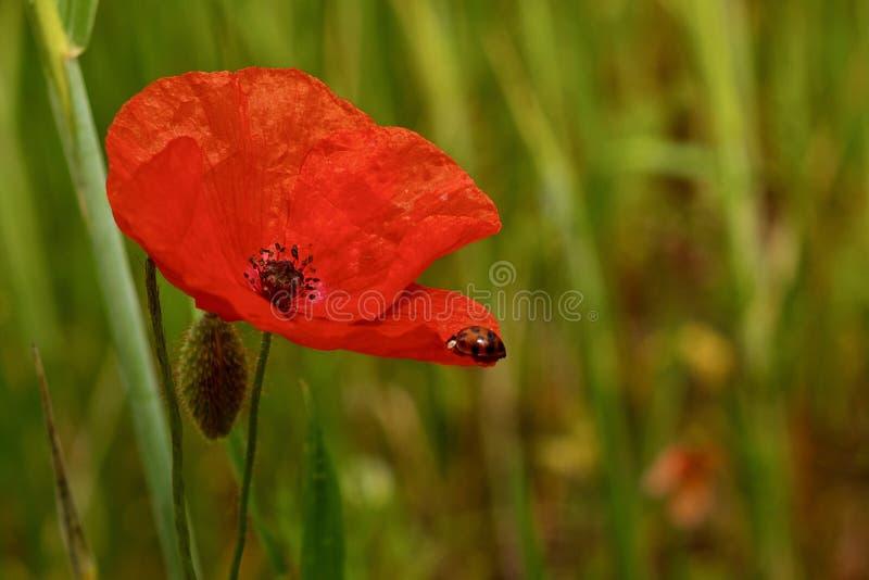 Fiore rosso del papavero in un prato verde fotografia stock