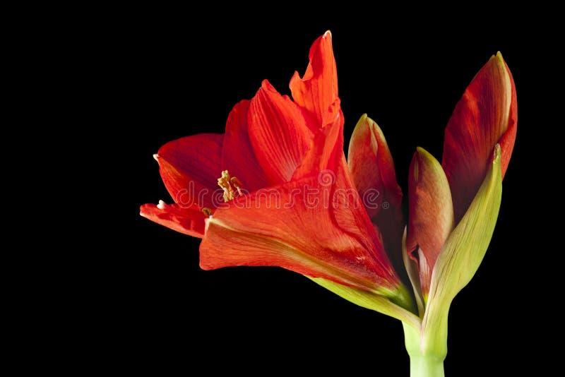 Fiore rosso dell'amarillide su fondo nero immagine stock