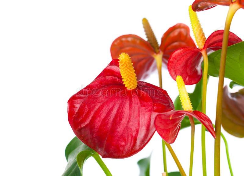Fiore rosso dell'anturio immagini stock libere da diritti