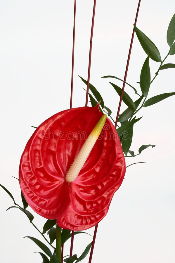 Fiore rosso dell'anturio, fiore di fenicottero immagine stock