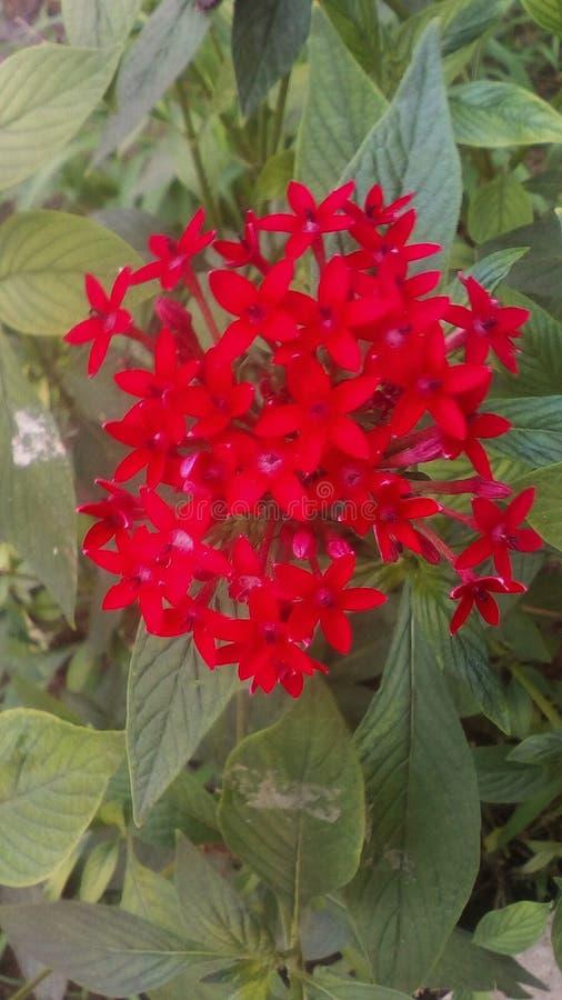 Fiore rosso dell'arbusto fotografia stock