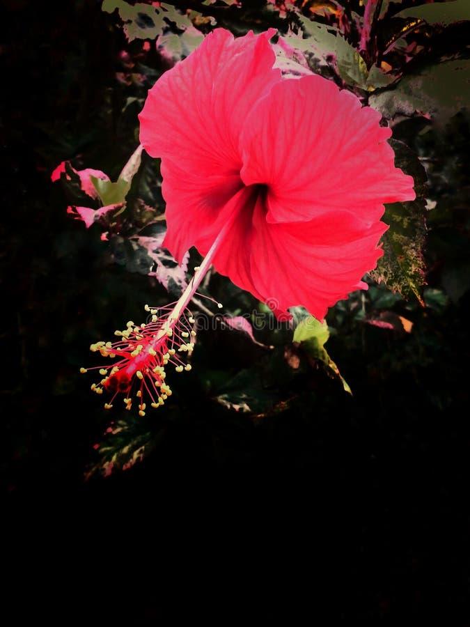 Fiore rosso dell'ibisco immagine stock