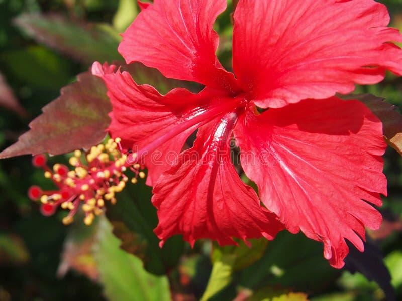 Fiore rosso dell'ibisco sull'estate fotografia stock