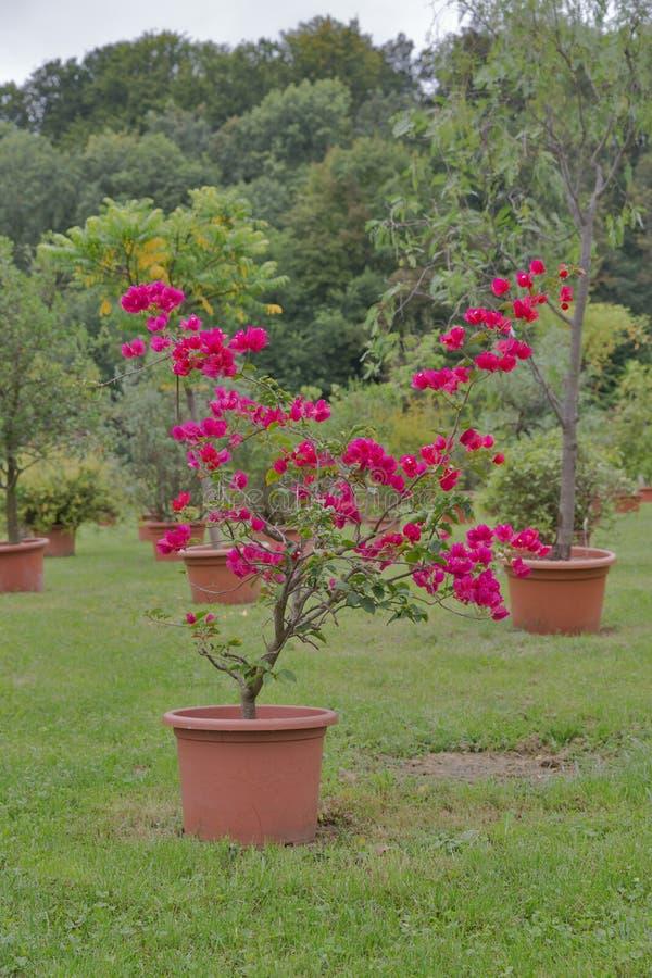 Download Fiore Rosso Della Buganvillea In Vaso Allu0027aperto Immagine Stock    Immagine Di Erba