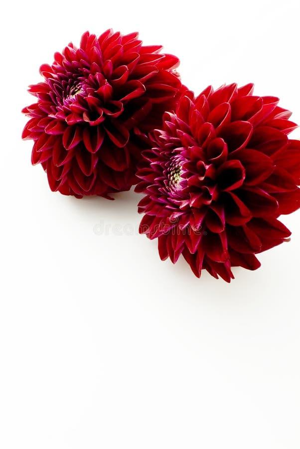 Fiore rosso della dalia immagini stock libere da diritti