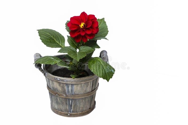 Fiore rosso della dalia isolato su priorità bassa bianca immagini stock
