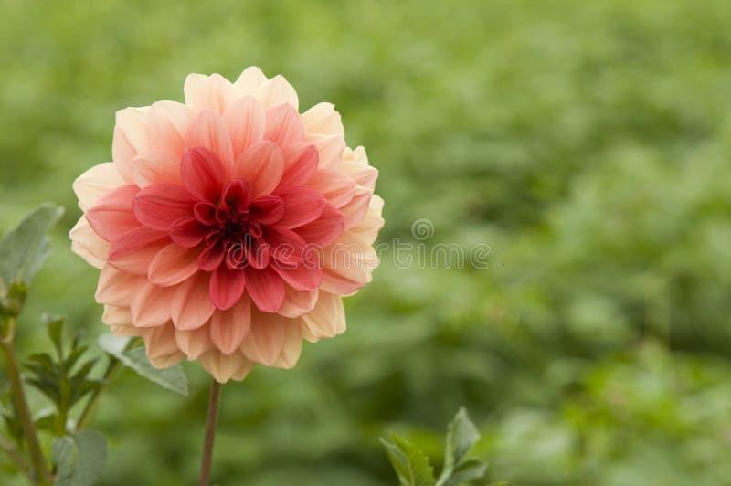 Fiore rosso della dalia nel fiore gardenRed della dalia nel giardino fotografie stock libere da diritti