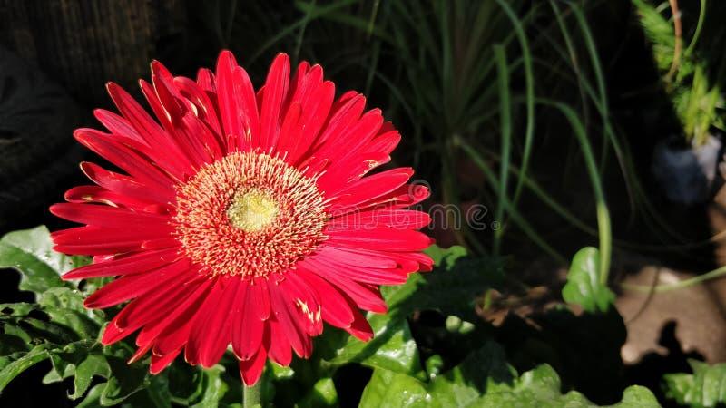 Fiore rosso della gerbera fotografie stock libere da diritti