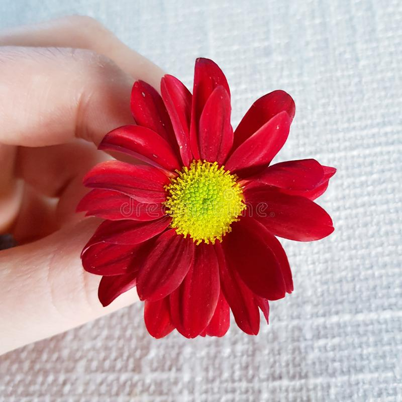 Fiore rosso della gerbera Bello primo piano del fiore immagini stock libere da diritti