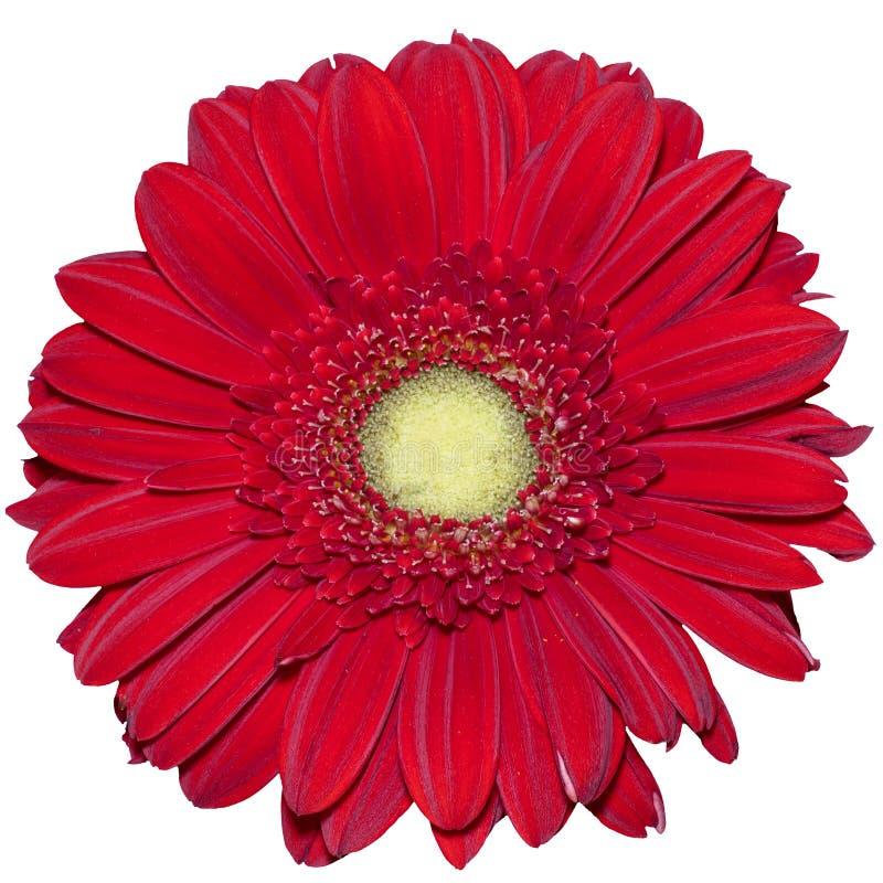 Fiore rosso della margherita del Transvaal fotografia stock