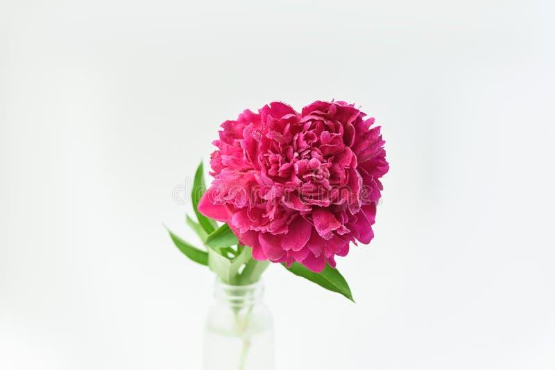 Fiore rosso della peonia in un vaso di vetro su un fondo isolato bianco Fiori freschi Fuoco selettivo Struttura orizzontale fotografia stock