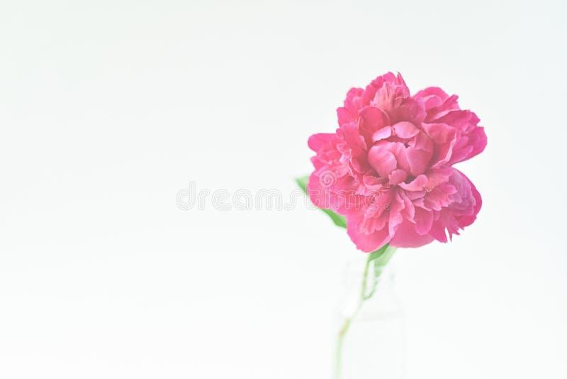 Fiore rosso della peonia in un vaso di vetro su un fondo isolato bianco Fiori freschi Fuoco selettivo Struttura orizzontale fotografia stock libera da diritti