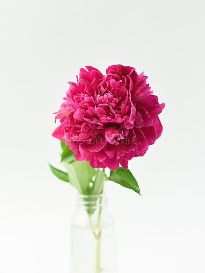 Fiore rosso della peonia in un vaso di vetro su un fondo isolato bianco Fiori freschi Fuoco selettivo Struttura verticale fotografie stock