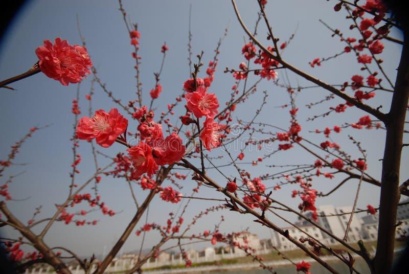 Fiore rosso della prugna fotografia stock