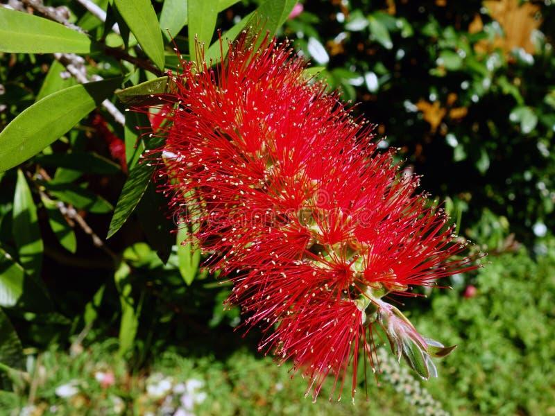 Fiore rosso della spazzola di bottiglia immagine stock