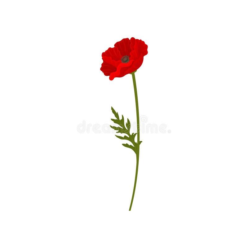 Fiore rosso di fioritura del papavero con il gambo, illustrazione di vettore dell'elemento di progettazione floreale su un fondo  royalty illustrazione gratis