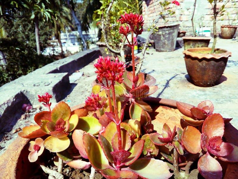 Fiore rosso di Kalanchoe fotografia stock