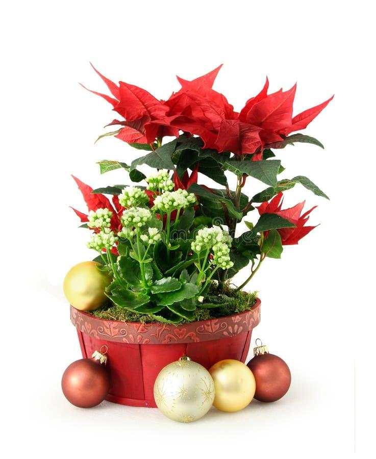 Fiore rosso di natale immagine stock