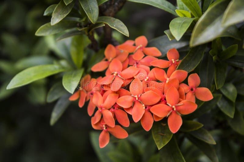 Fiore rosso di Pentas Lanceolata con le foglie verdi intorno fotografia stock