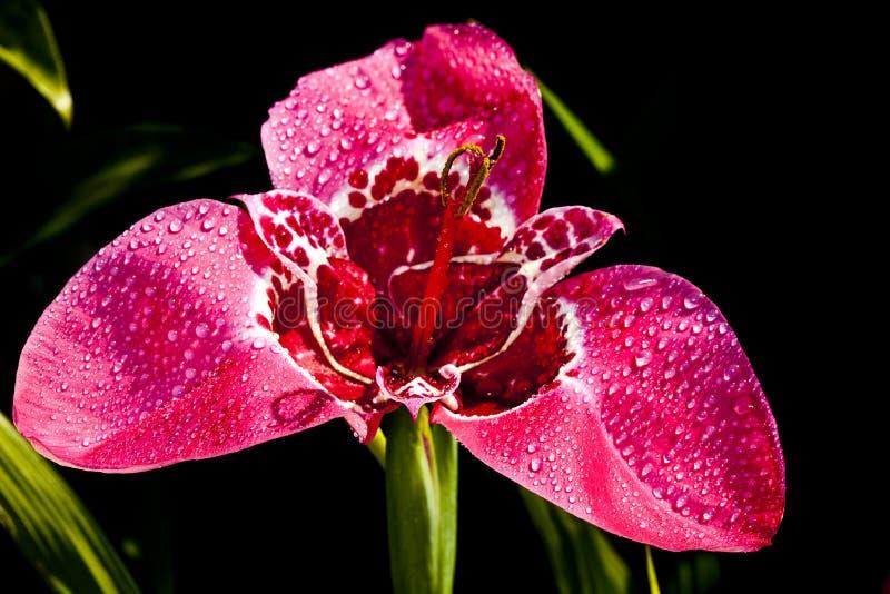 Fiore rosso di tigridia immagine stock libera da diritti