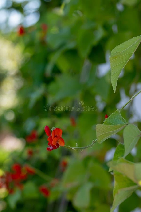 Fiore rosso di una pianta del fagiolo rampicante nel fuoco tagliente, circondato dalle foglie verdi immagini stock libere da diritti
