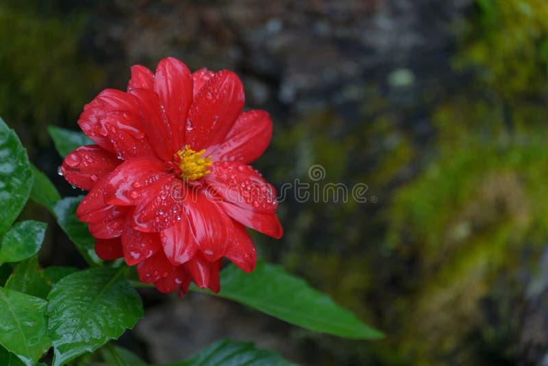 Fiore rosso di zinnia nel giardino fotografia stock libera da diritti