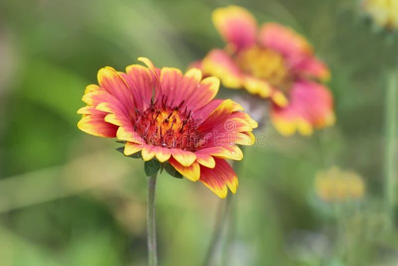 Fiore rosso e giallo di fanfara di Gaillardia nel parco nazionale di Hongshilin immagini stock