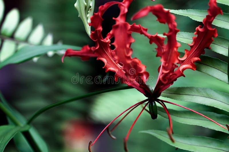 Fiore rosso esotico immagini stock