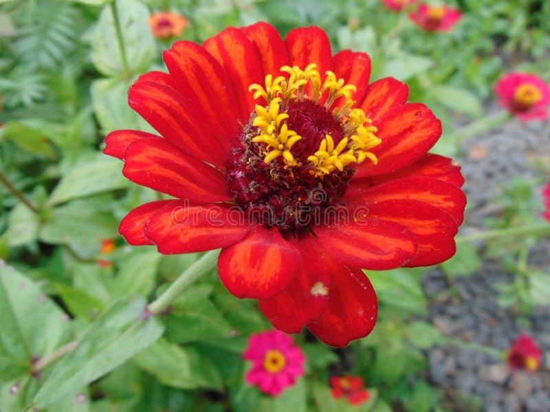 Fiore rosso esotico fotografie stock libere da diritti