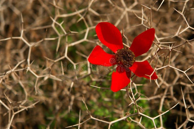 Fiore rosso fra i prickles difficili, immagini stock libere da diritti