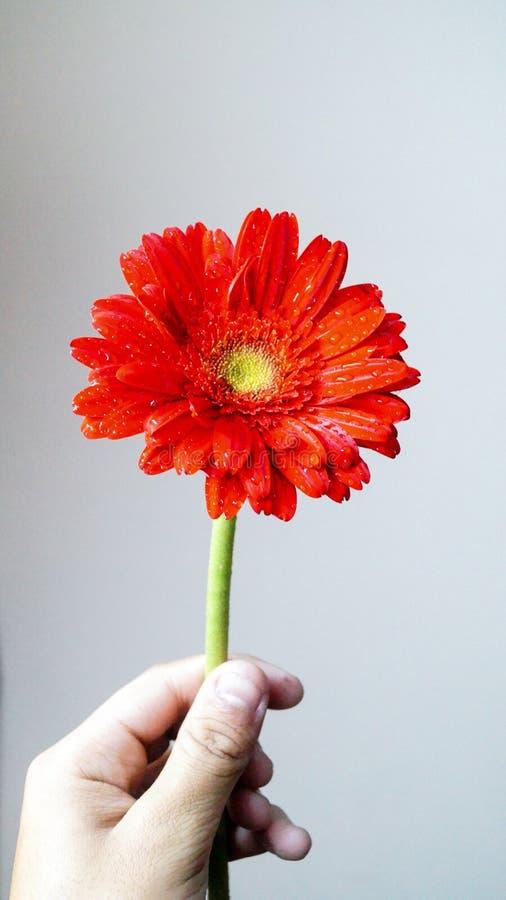 Fiore rosso giudicato disponibile immagine stock