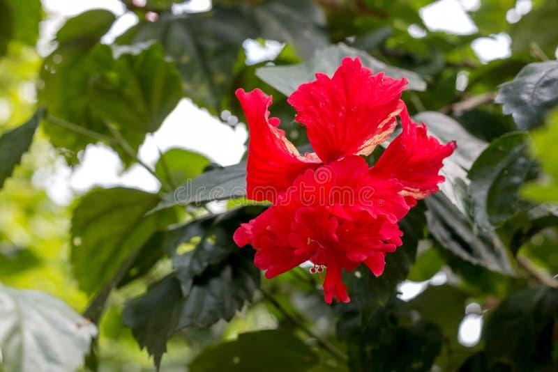 Fiore rosso guarnito dell'ibisco fotografia stock